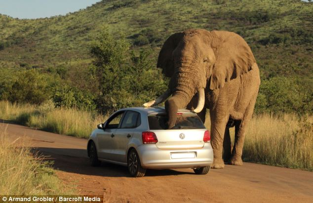 VW Polo used by elephant Africa
