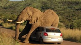 Occupants escape unharmed after elephant uses their VW Polo to scratch himself